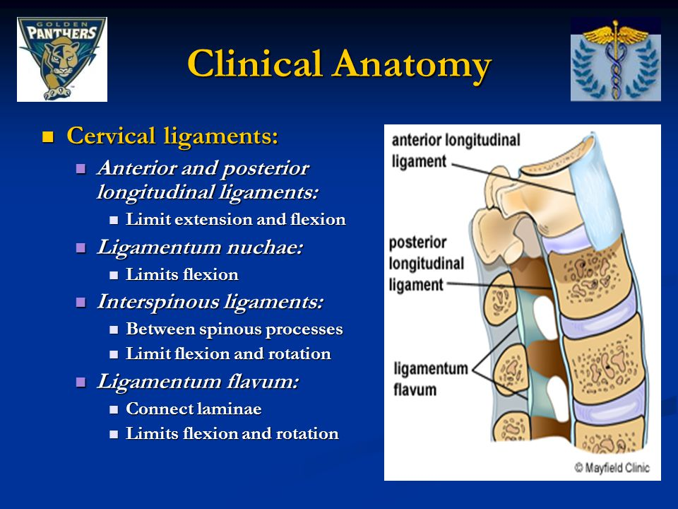 Clinical Anatomy Cervical ligaments: