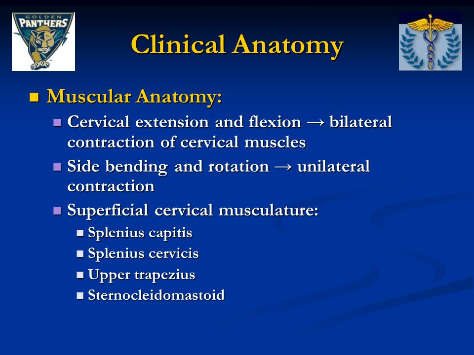 Clinical Anatomy Muscular Anatomy: