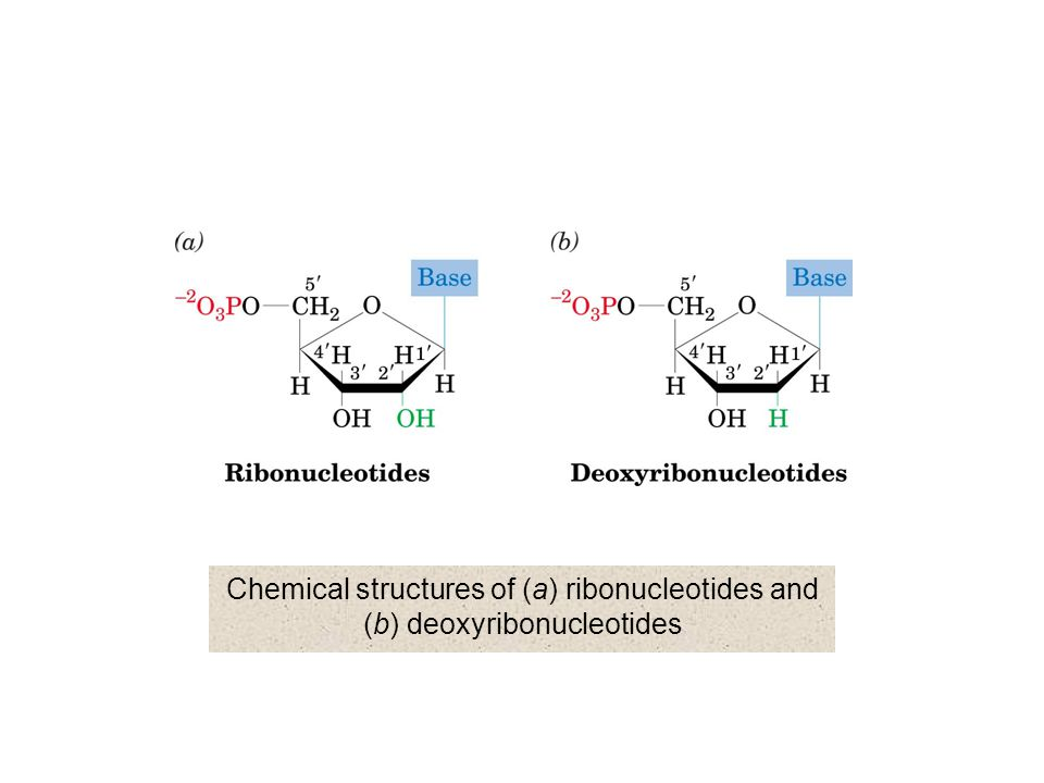 Chemical structures of (a) ribonucleotides and (b) deoxyribonucleotides
