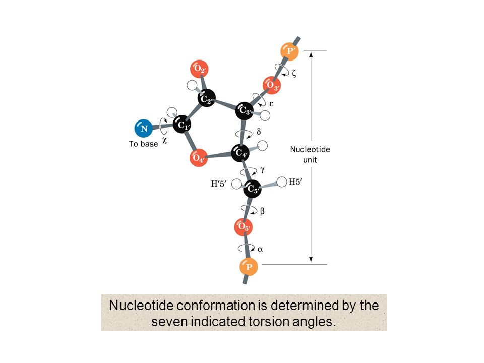 Nucleotide conformation is determined by the seven indicated torsion angles.