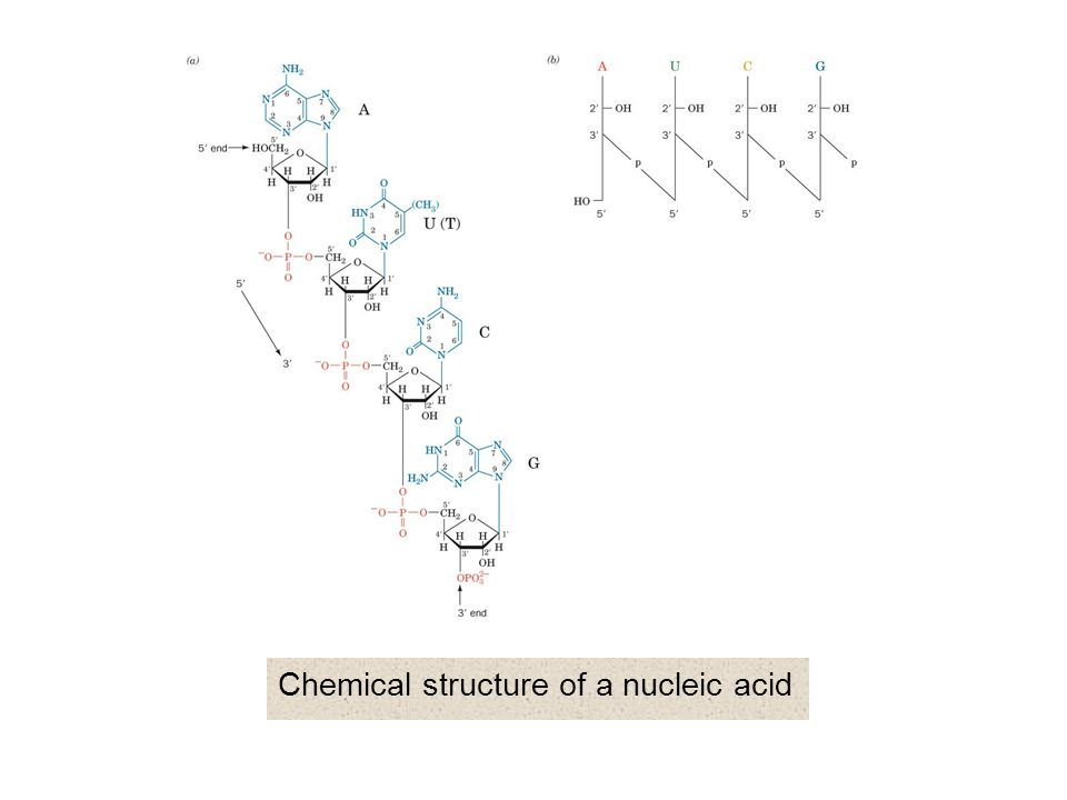 Chemical structure of a nucleic acid