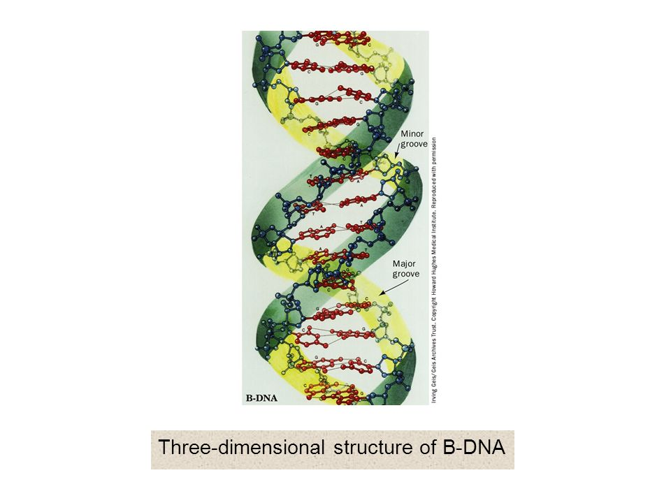 Three-dimensional structure of B-DNA