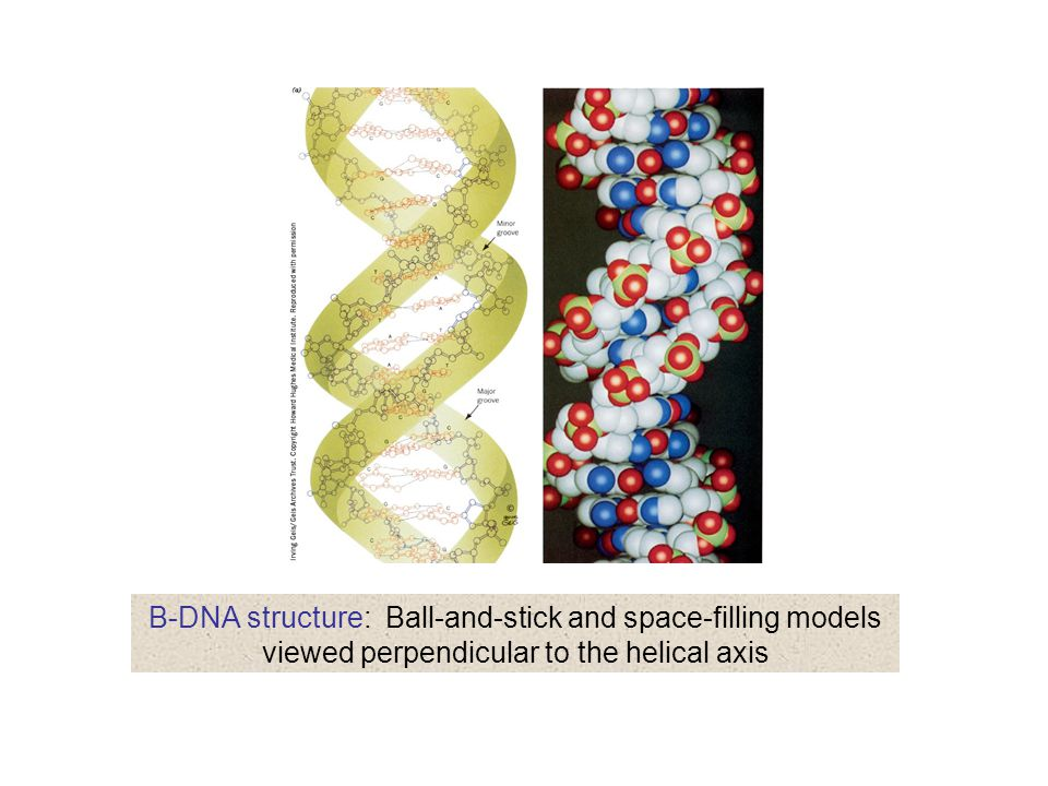 B-DNA structure: Ball-and-stick and space-filling models viewed perpendicular to the helical axis