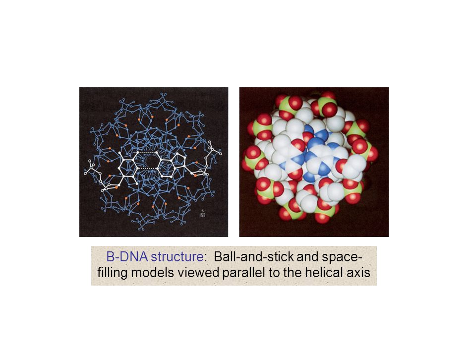 B-DNA structure: Ball-and-stick and space-filling models viewed parallel to the helical axis