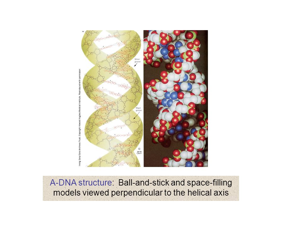 A-DNA structure: Ball-and-stick and space-filling models viewed perpendicular to the helical axis