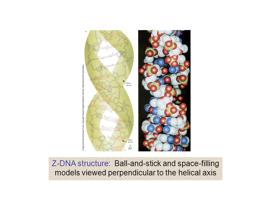 Z-DNA structure: Ball-and-stick and space-filling models viewed perpendicular to the helical axis