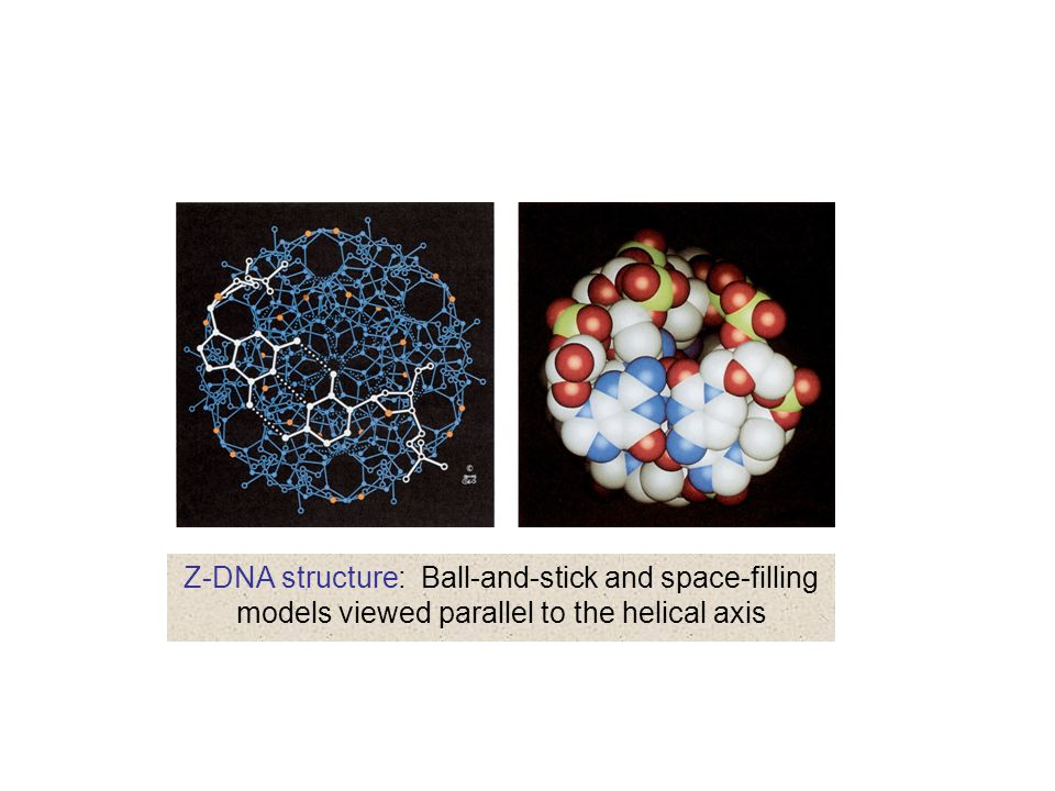 Z-DNA structure: Ball-and-stick and space-filling models viewed parallel to the helical axis