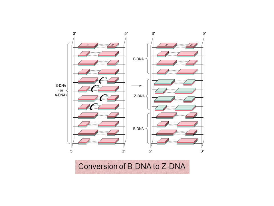 Conversion of B-DNA to Z-DNA