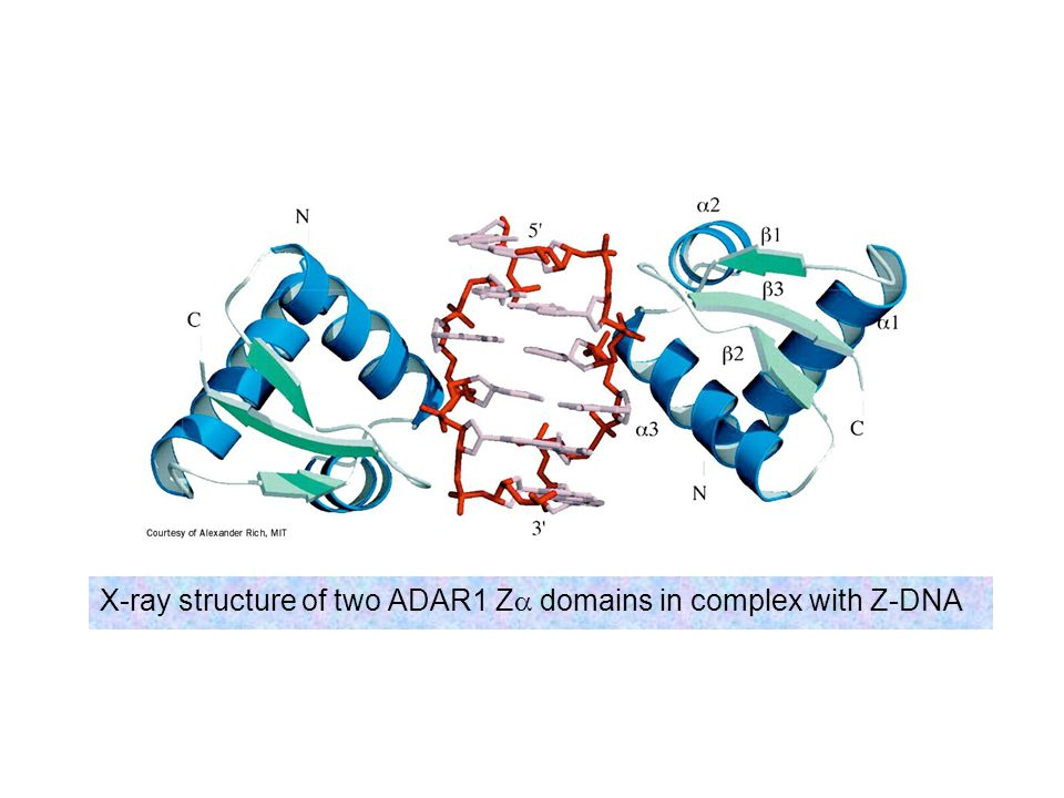 X-ray structure of two ADAR1 Z domains in complex with Z-DNA