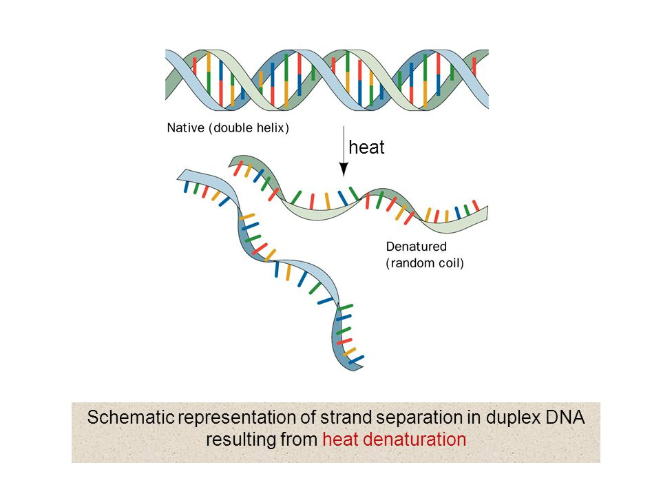 heat Schematic representation of strand separation in duplex DNA resulting from heat denaturation