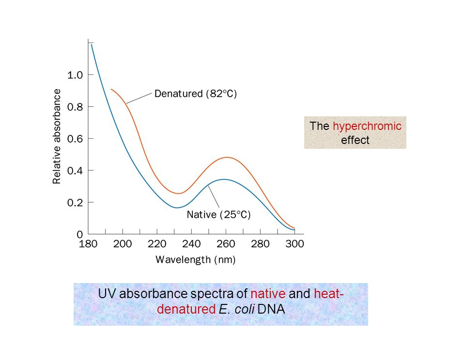 UV absorbance spectra of native and heat-denatured E. coli DNA