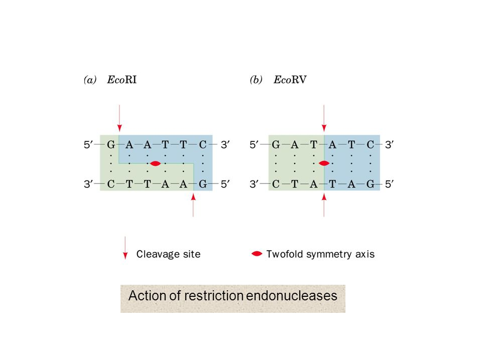 Action of restriction endonucleases