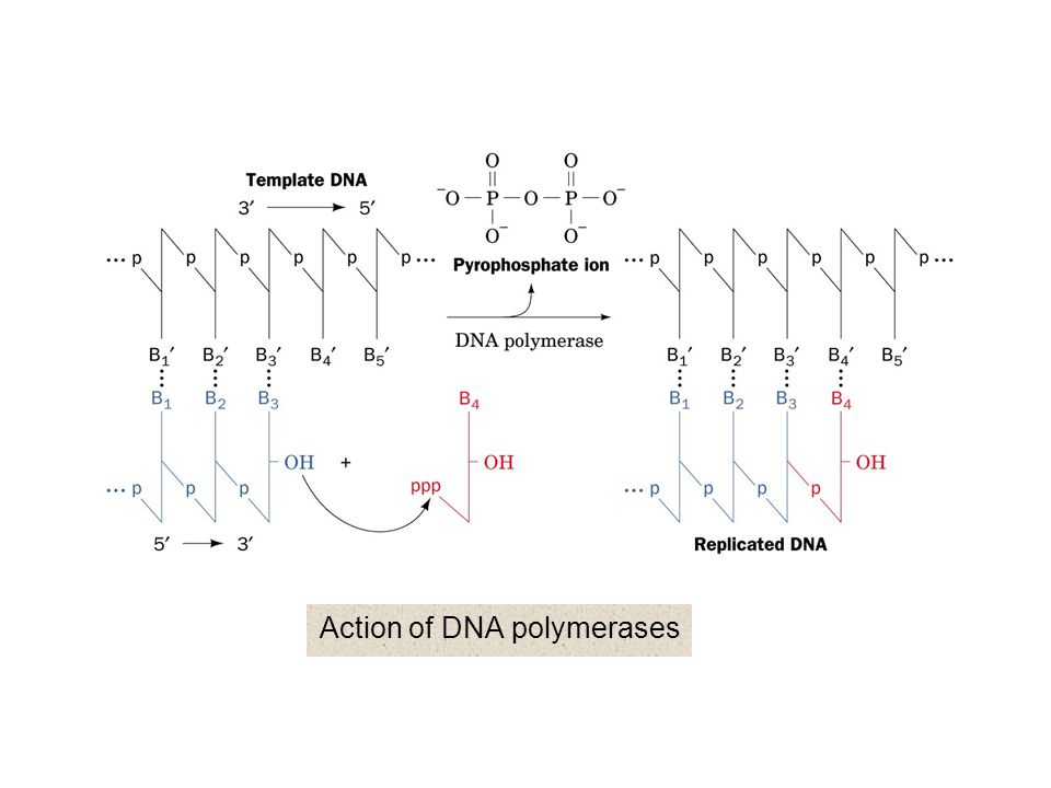 Action of DNA polymerases