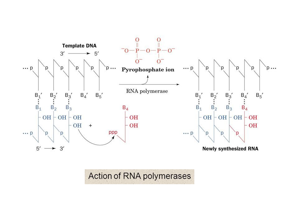 Action of RNA polymerases