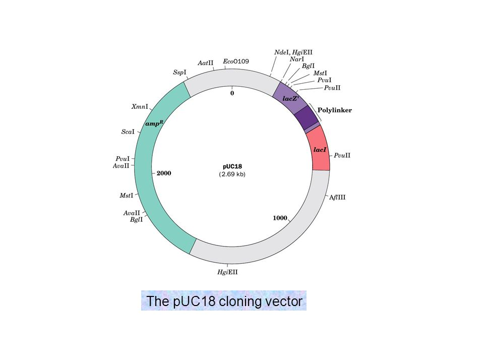 The pUC18 cloning vector