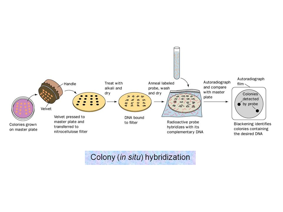 Colony (in situ) hybridization