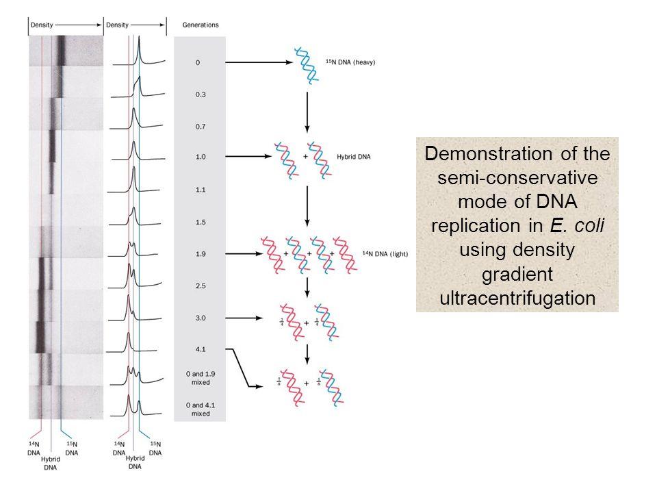 Demonstration of the semi-conservative mode of DNA replication in E