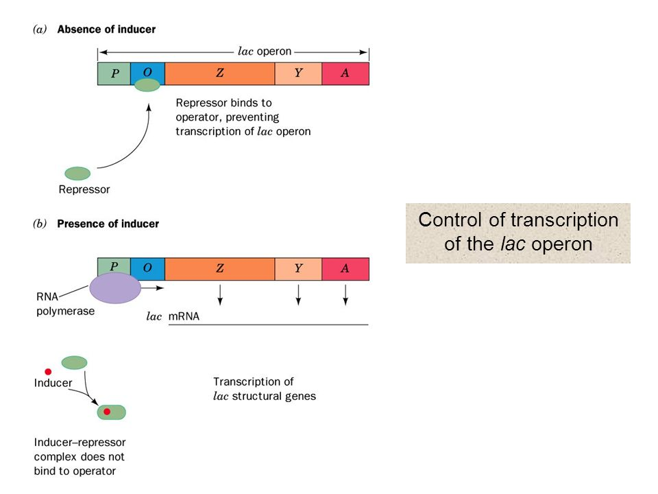 Control of transcription of the lac operon