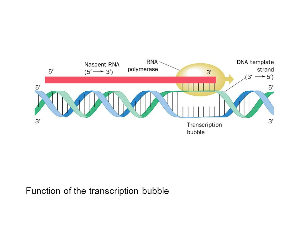 Function of the transcription bubble