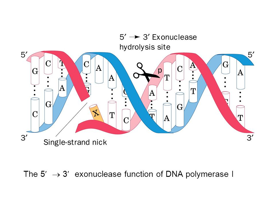 The 5¢ ® 3¢ exonuclease function of DNA polymerase I