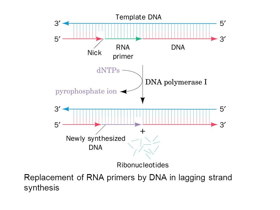 Replacement of RNA primers by DNA in lagging strand synthesis