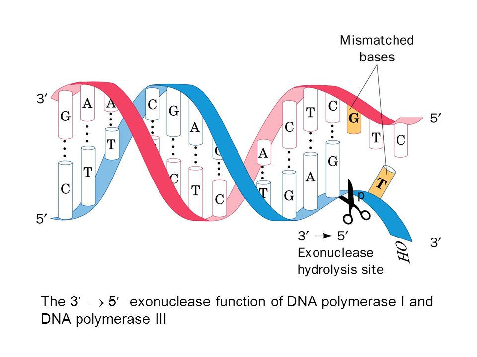 The 3¢ ® 5¢ exonuclease function of DNA polymerase I and DNA polymerase III