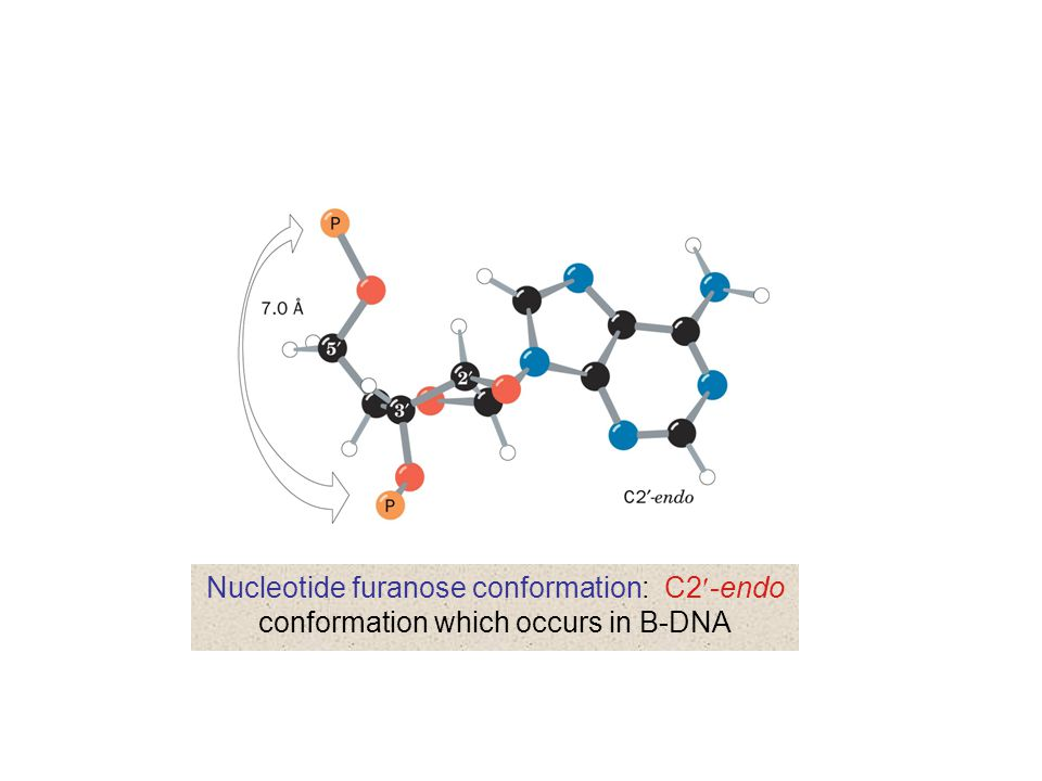 Nucleotide furanose conformation: C2-endo conformation which occurs in B-DNA