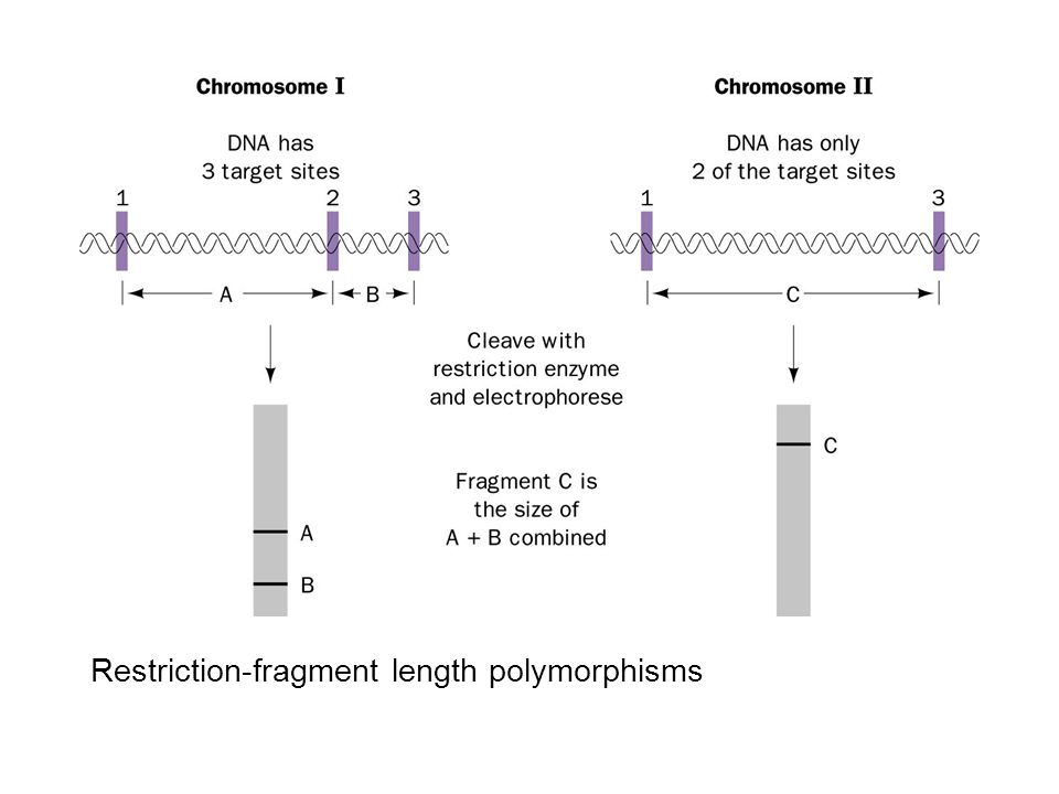 Restriction-fragment length polymorphisms