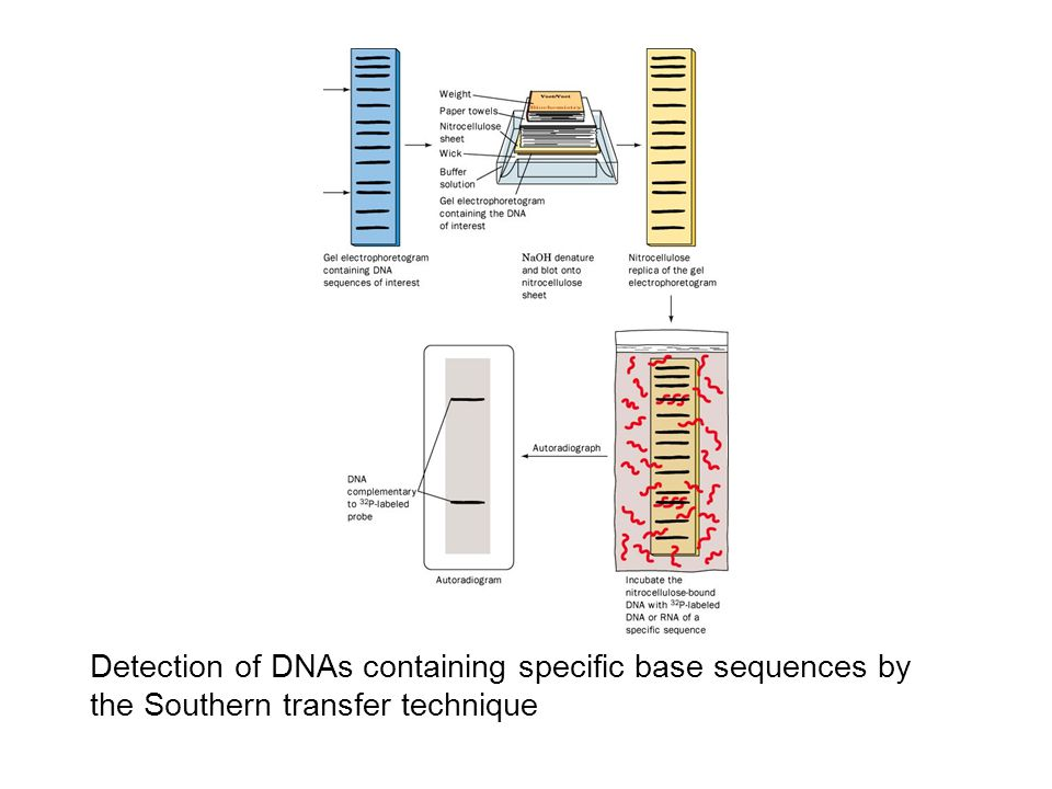 Detection of DNAs containing specific base sequences by the Southern transfer technique