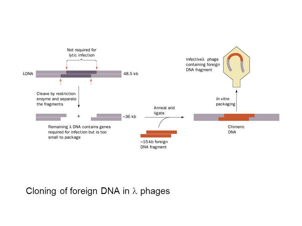 Cloning of foreign DNA in l phages