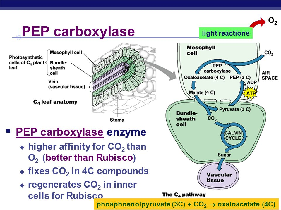 PEP carboxylase PEP carboxylase enzyme