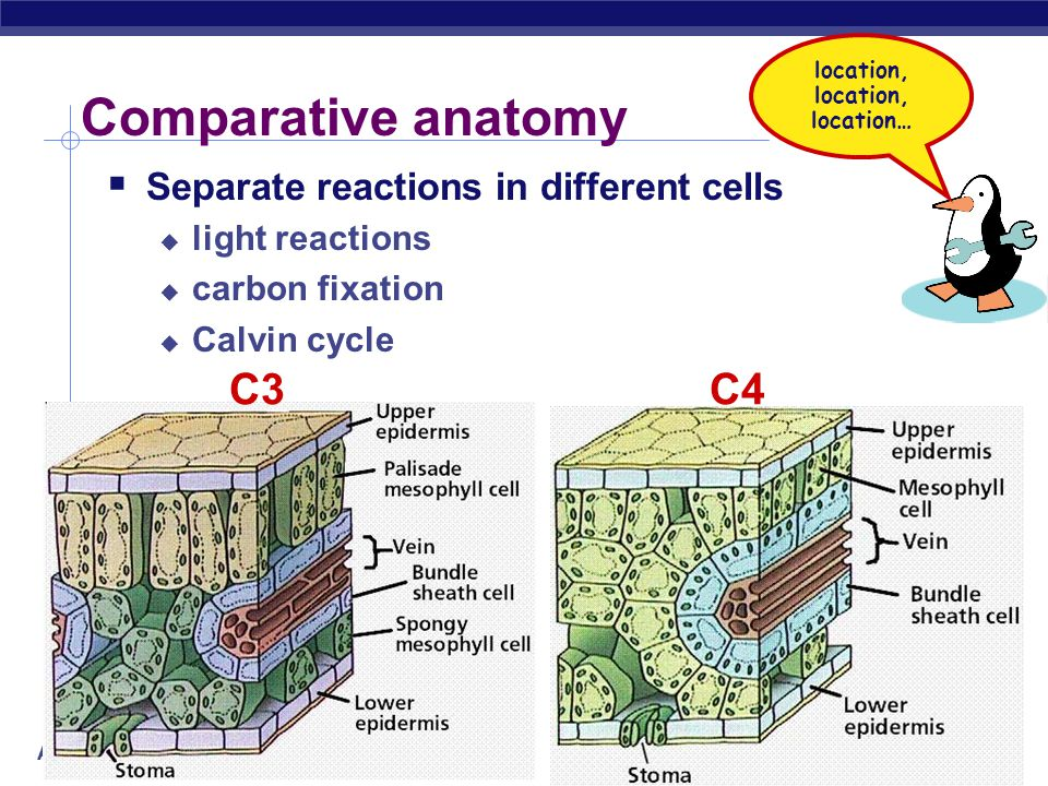 Comparative anatomy C3 C4 Separate reactions in different cells