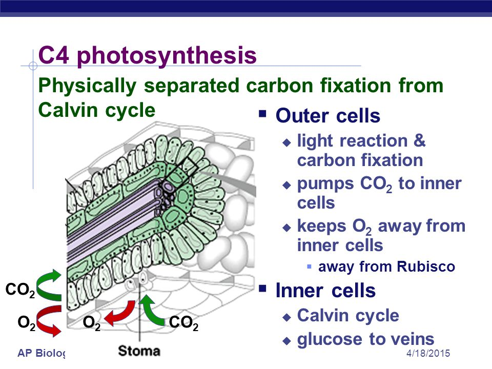 C4 photosynthesis Physically separated carbon fixation from Calvin cycle. Outer cells. light reaction & carbon fixation.
