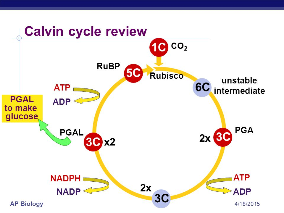 Calvin cycle review 1C 5C 6C 3C 3C 3C 2x x2 2x CO2 RuBP Rubisco
