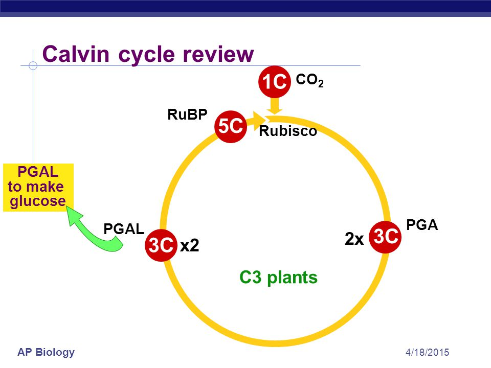 Calvin cycle review 1C 5C 3C 3C 2x x2 C3 plants CO2 RuBP Rubisco PGAL