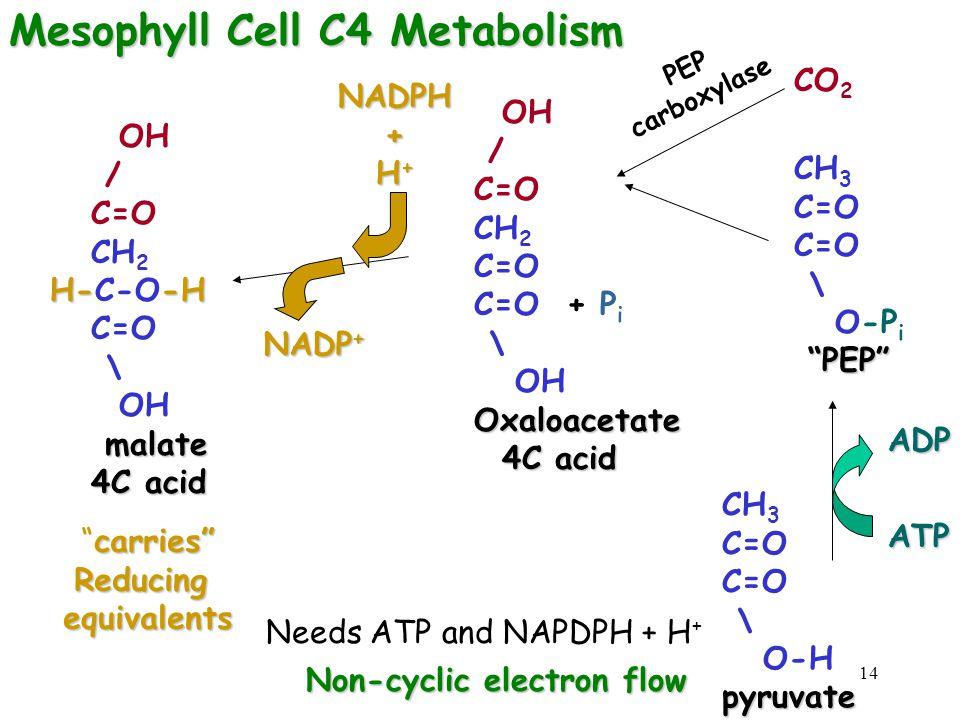 Mesophyll Cell C4 Metabolism
