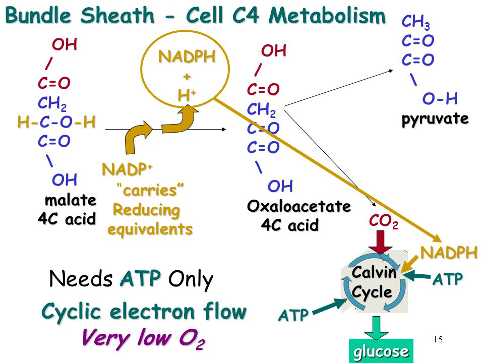 Bundle Sheath - Cell C4 Metabolism