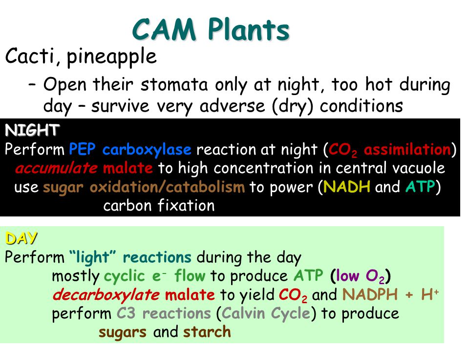 CAM Plants Cacti, pineapple