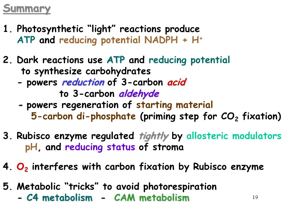 Summary Photosynthetic light reactions produce