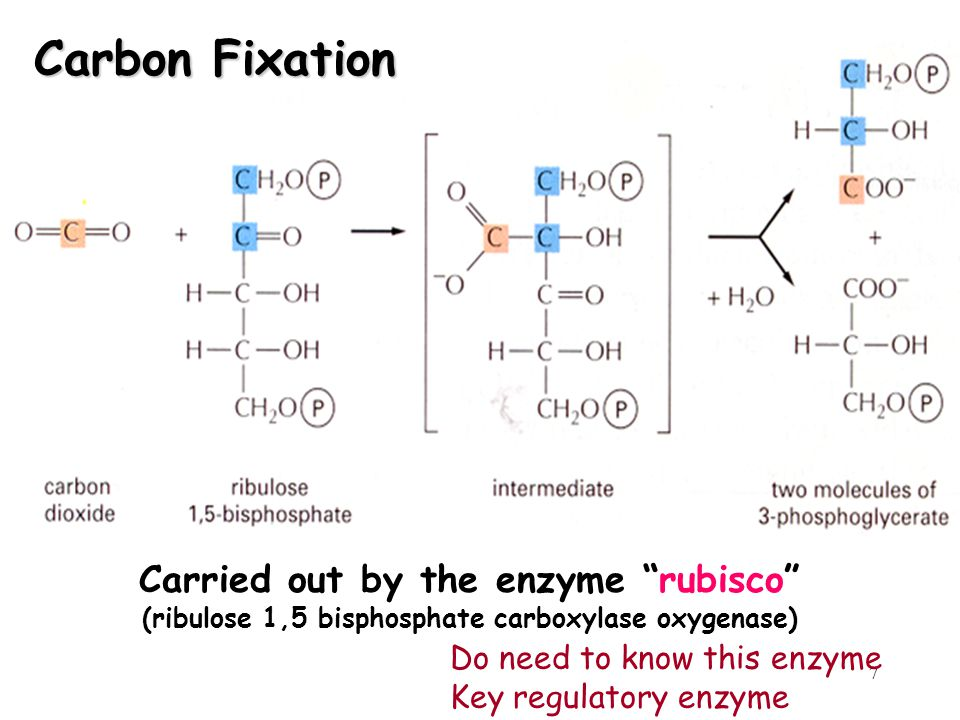 Carbon Fixation Carried out by the enzyme rubisco