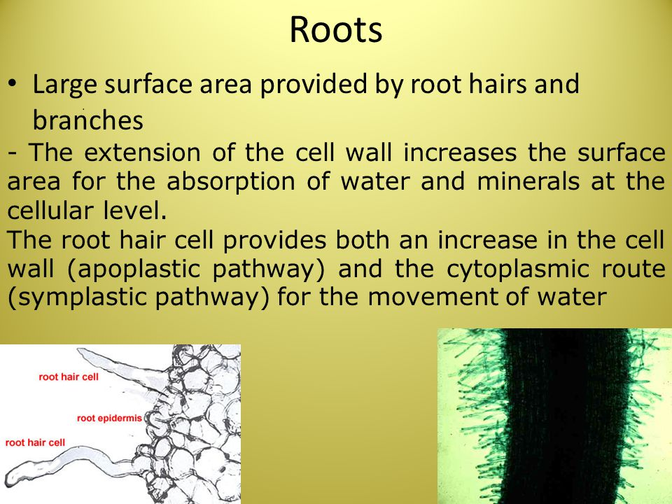 Roots Large surface area provided by root hairs and branches