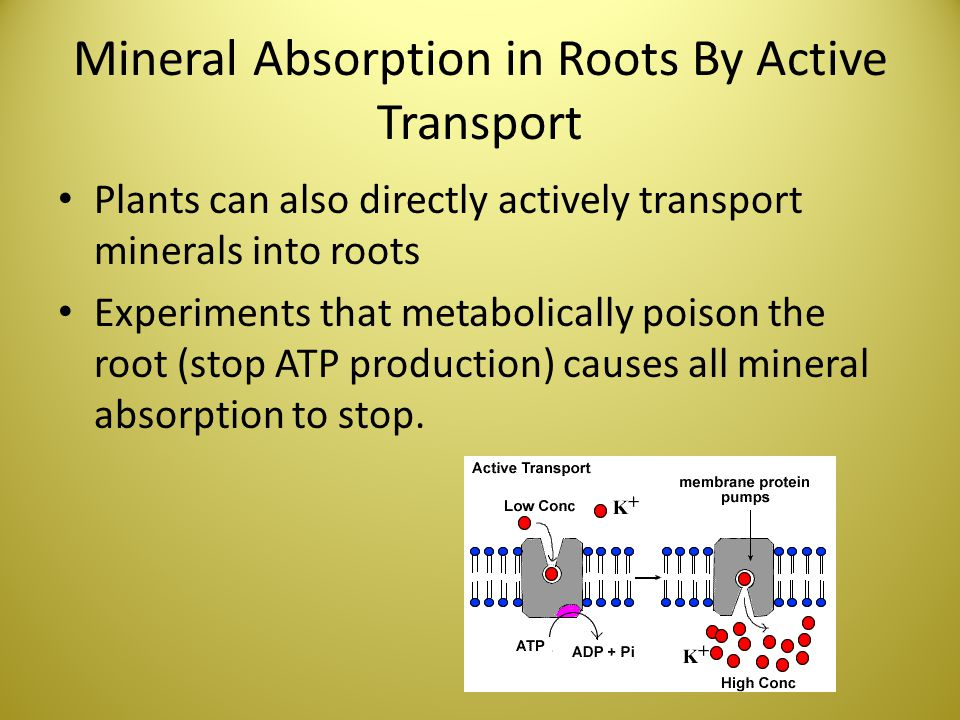 Mineral Absorption in Roots By Active Transport