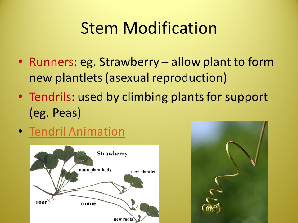 Stem Modification Runners: eg. Strawberry – allow plant to form new plantlets (asexual reproduction)