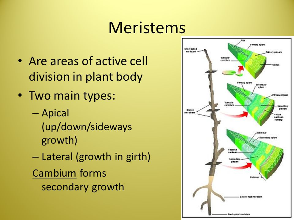 Meristems Are areas of active cell division in plant body