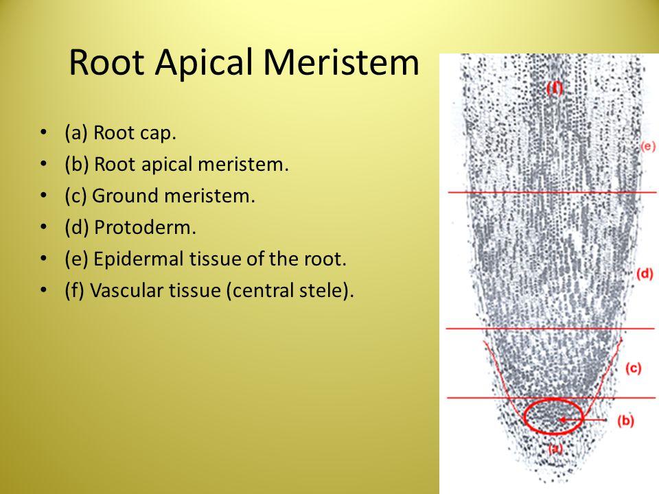 Root Apical Meristem (a) Root cap. (b) Root apical meristem.