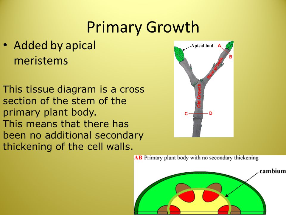 Primary Growth Added by apical meristems