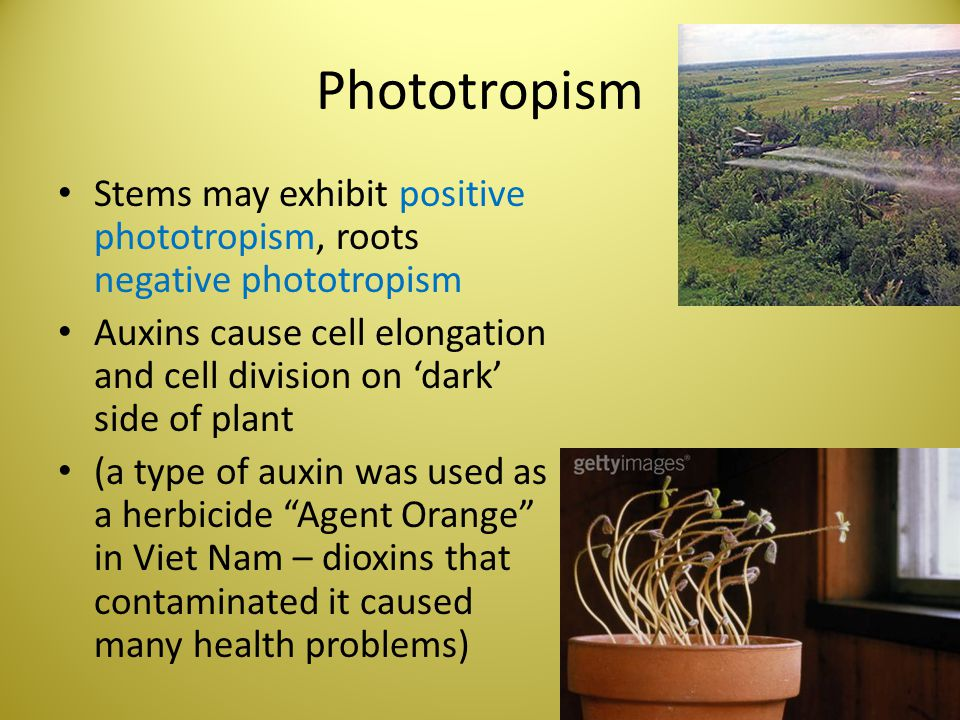 Phototropism Stems may exhibit positive phototropism, roots negative phototropism.