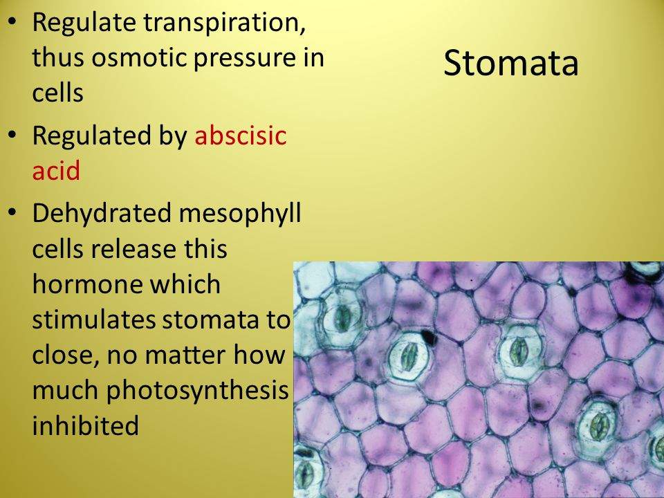 Stomata Regulate transpiration, thus osmotic pressure in cells