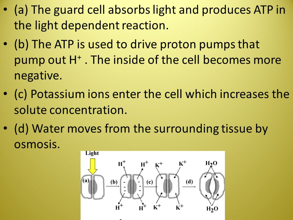 (a) The guard cell absorbs light and produces ATP in the light dependent reaction.