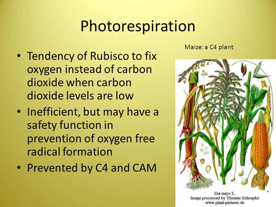 Photorespiration Maize: a C4 plant. Tendency of Rubisco to fix oxygen instead of carbon dioxide when carbon dioxide levels are low.